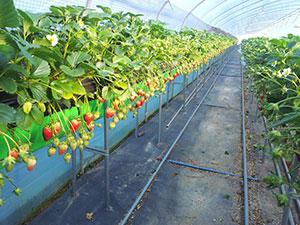 草莓用防草布