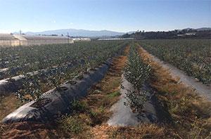 蓝莓种植基地防草布