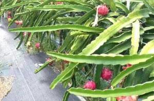 火龙果种植地面防草